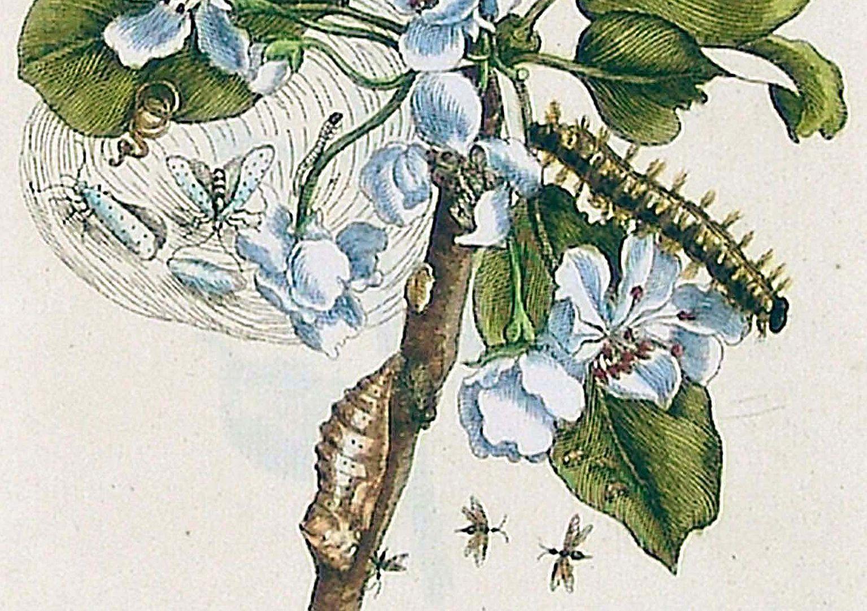 Birnenblüte untere Blatthälfte