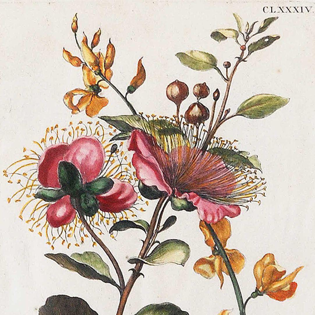Große Kapern=Blüte benebst Kunschroten obere Blatthälfte