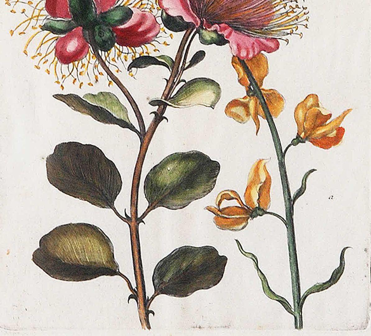 Große Kapern=Blüte benebst Kunschroten untere Blatthälfte