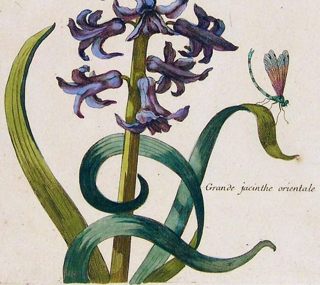Grande jacinthe orientale untere Blatthälfte