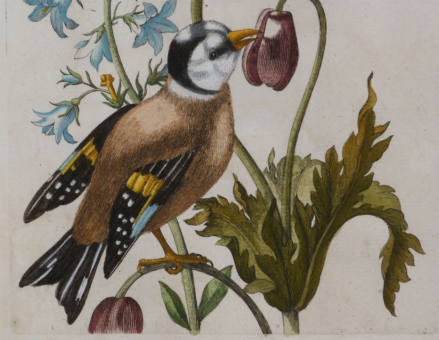 Magsamen-Blume = blaue Wiesen=Glöcklein / und ein Stieglitz / oder Distelfink untere Blatthälfte