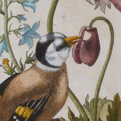 Magsamen-Blume = blaue Wiesen=Glöcklein / und ein Stieglitz / oder Distelfink