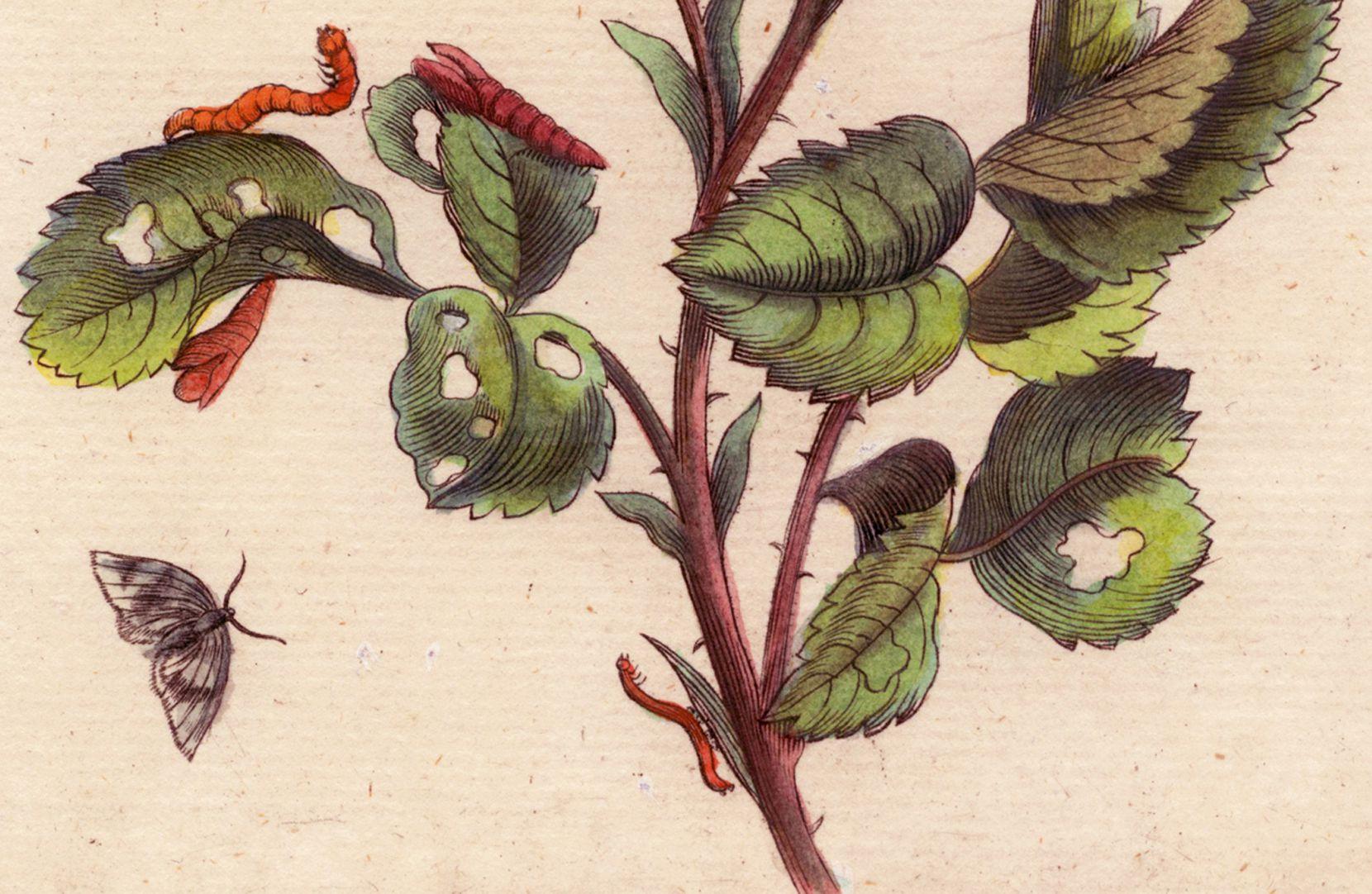 Rose untere Blatthälfte, Detail