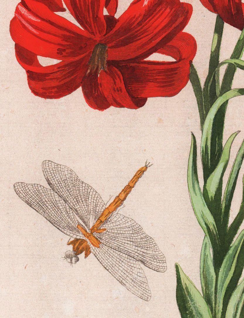 Türkenbund Detail mit Libelle