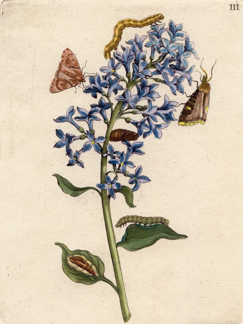 Blauer Flieder