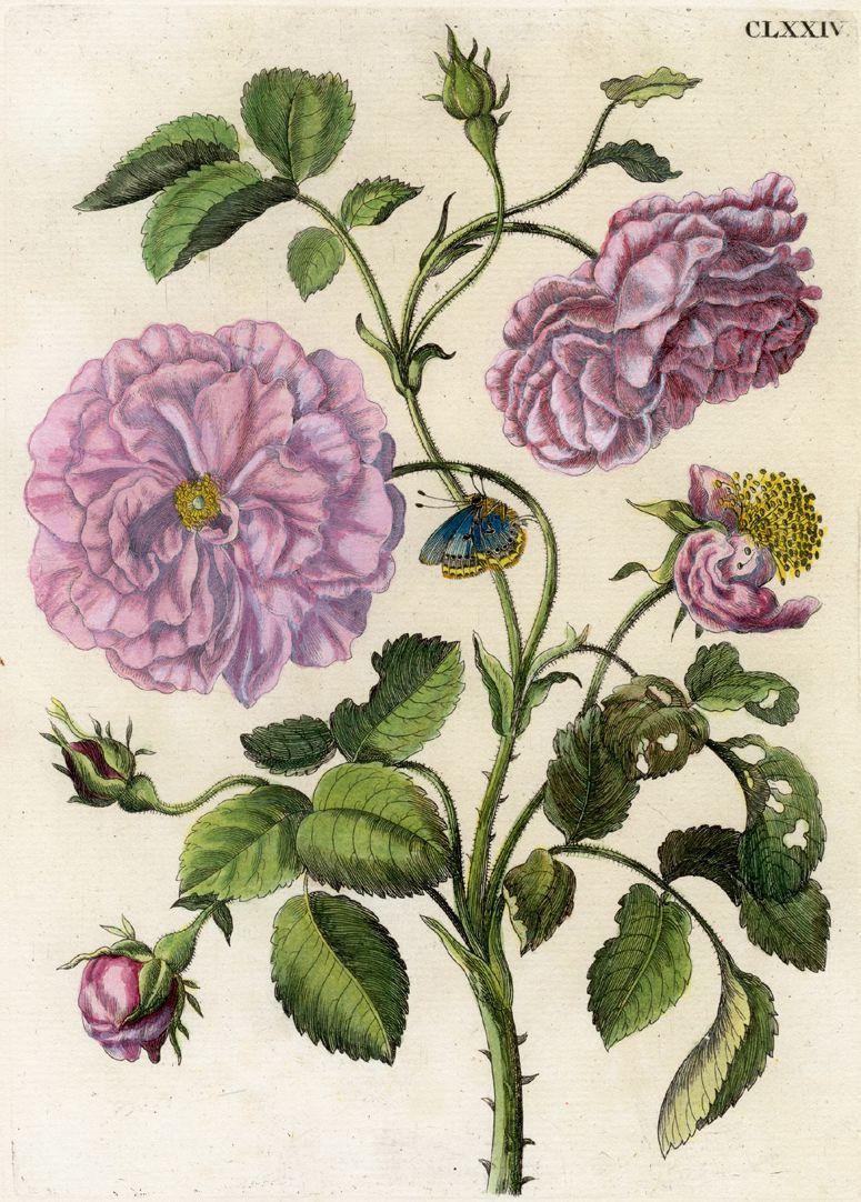 Holländische Rose