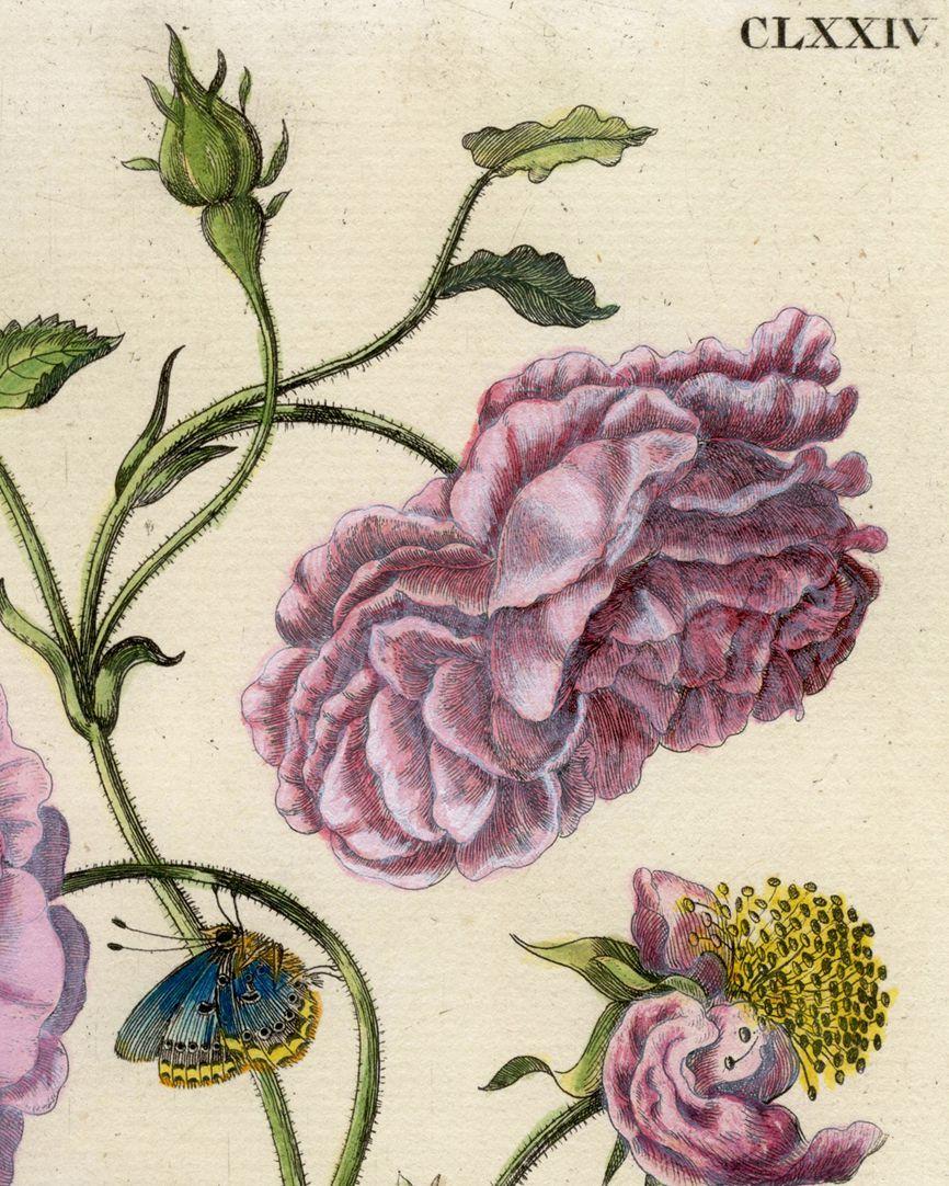 Holländische Rose rechte Blatthälfte, Detail