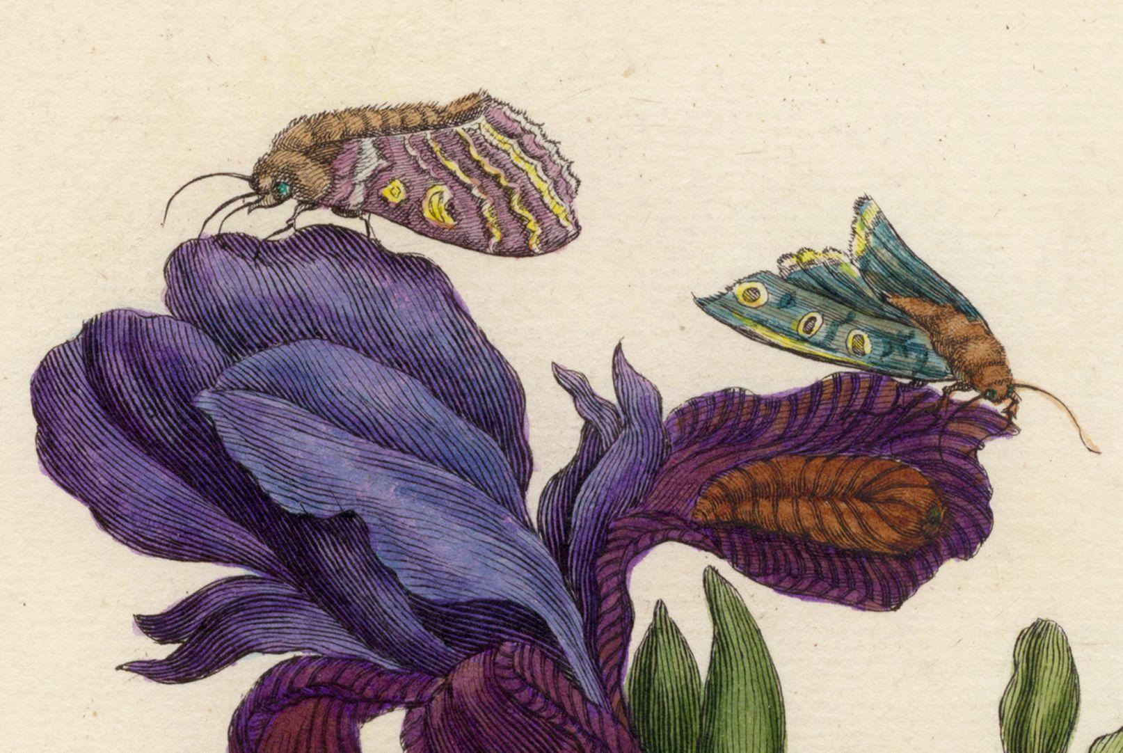 Iris obere Blatthälfte, Detail