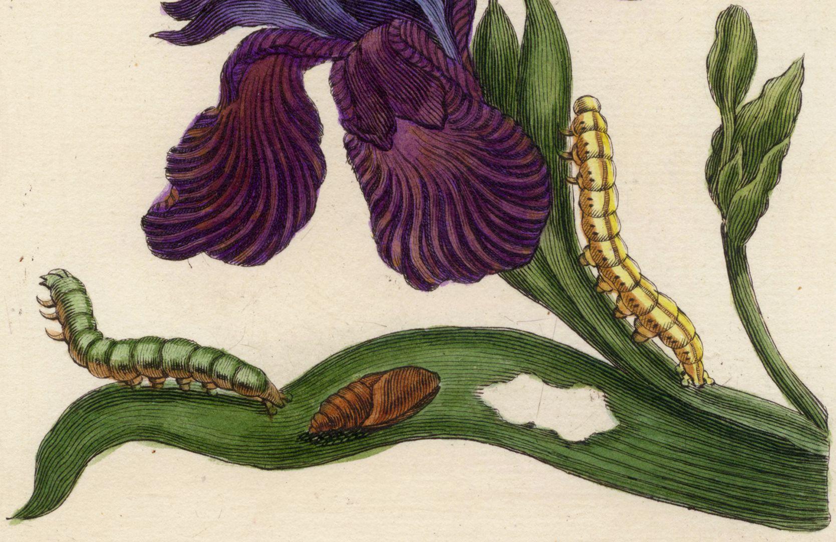 Iris untere Blatthälfte, Detail
