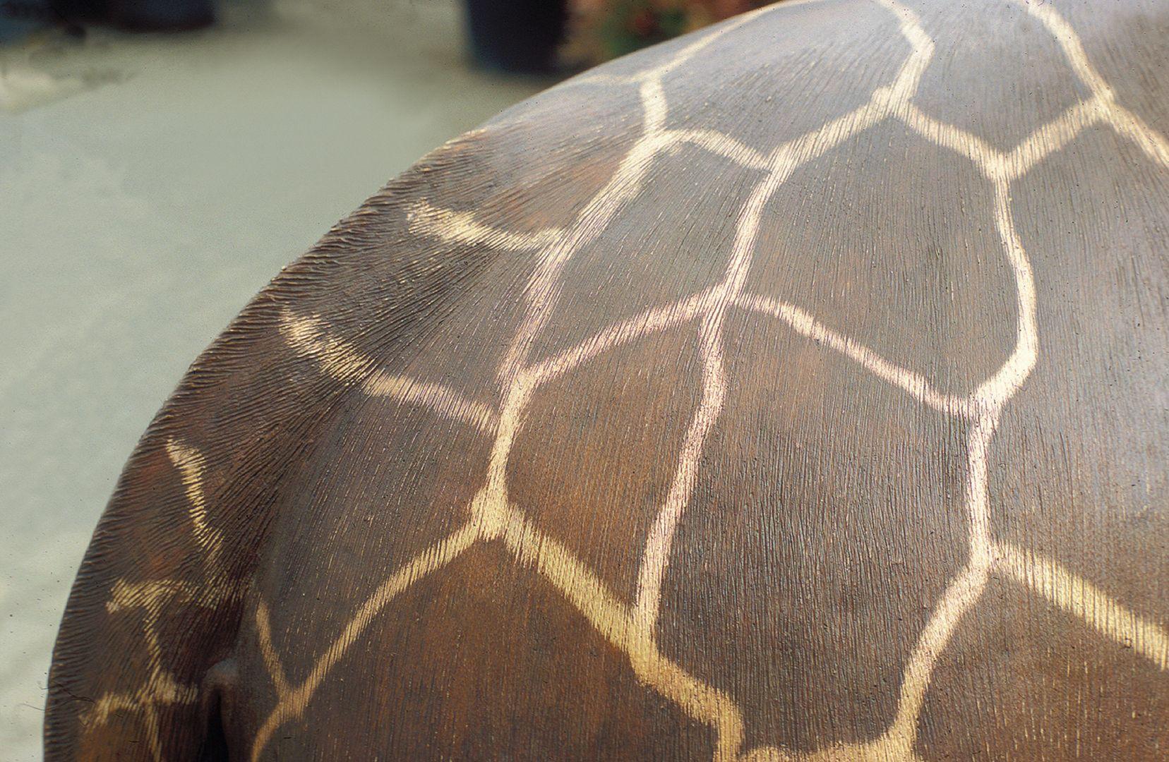 Netzgiraffe Rücken und Schwanz, Detail