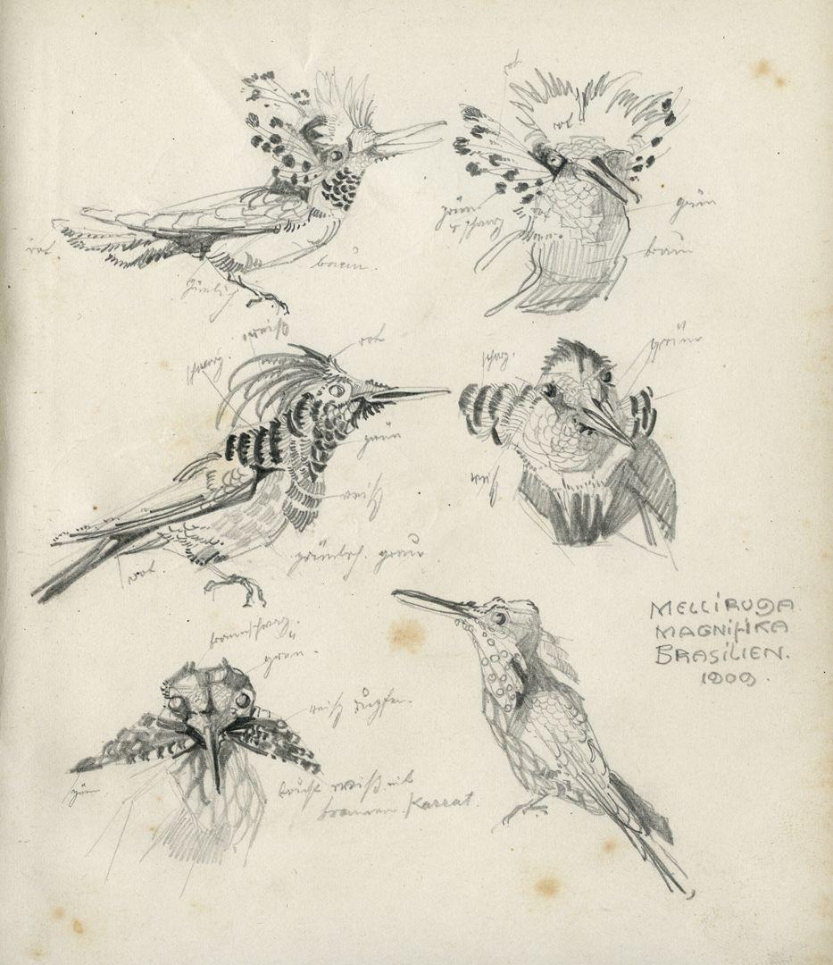 Skizzenbücher Bleistiftskizze einer Prachtelfe (Kolibriart) mit Farbangaben, 1909