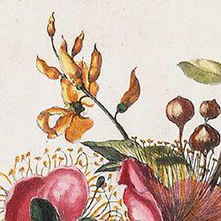 Große Kapern=Blüte benebst Kunschroten